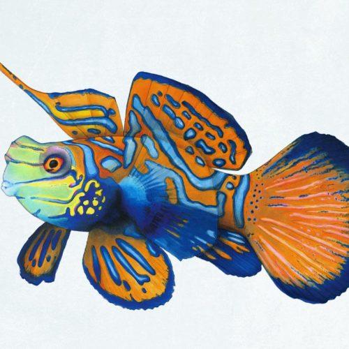 Mandarin-Fisch